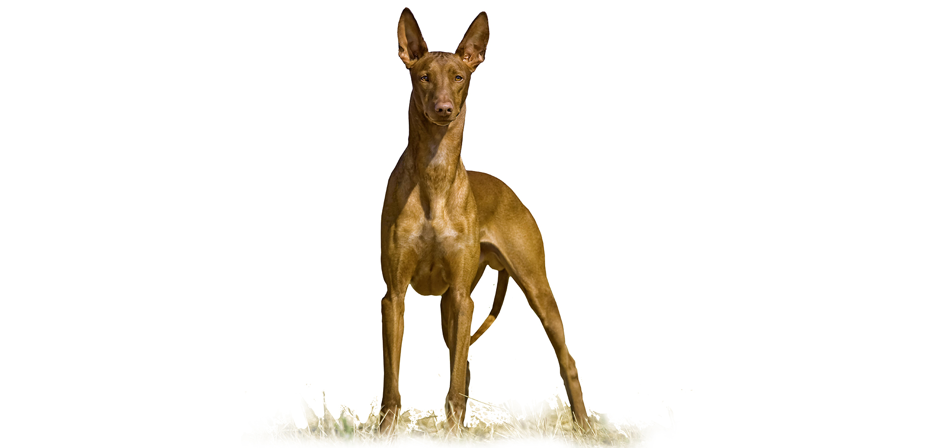 Breed Pharaoh Hound